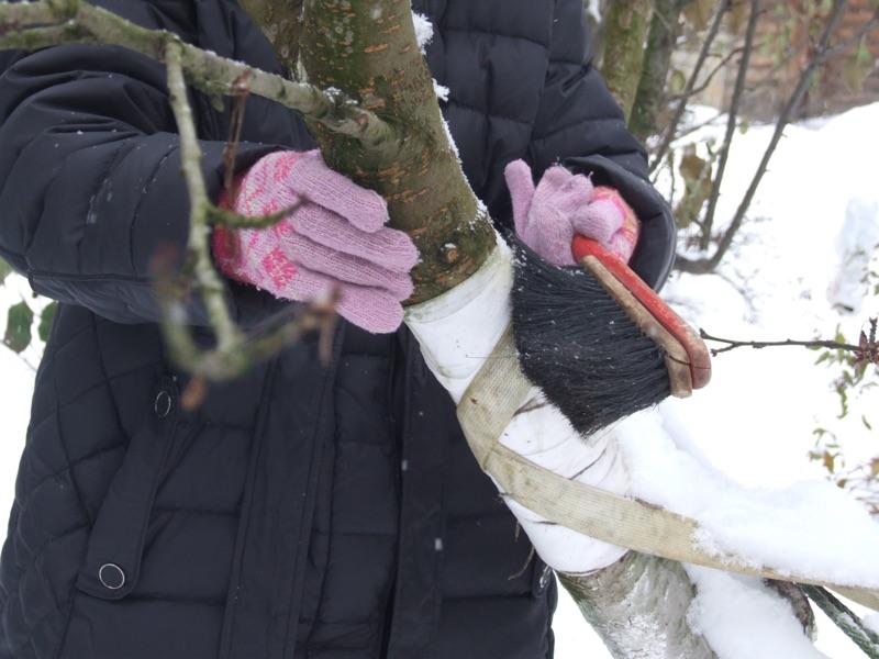 1-fazenda-ochishhaem-stvol-chereshni-ot-snega