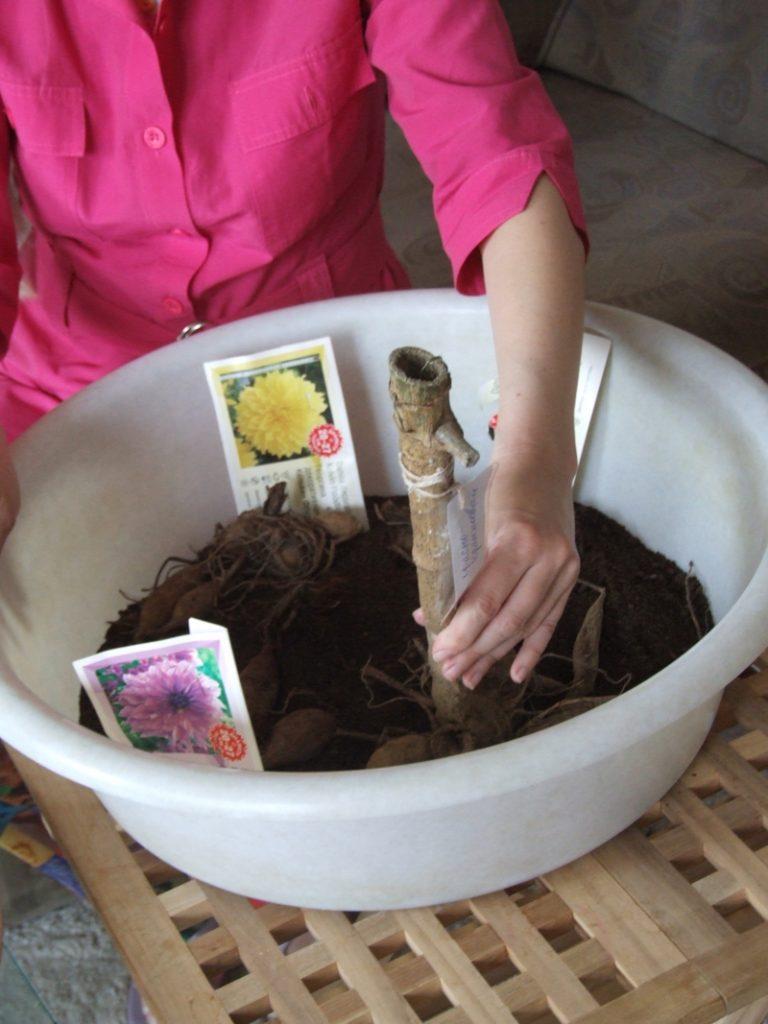 3. fazenda Насыпьте слой грунта в таз, расставьте клубни георгинов и засыпьте их тонким слоем грунта