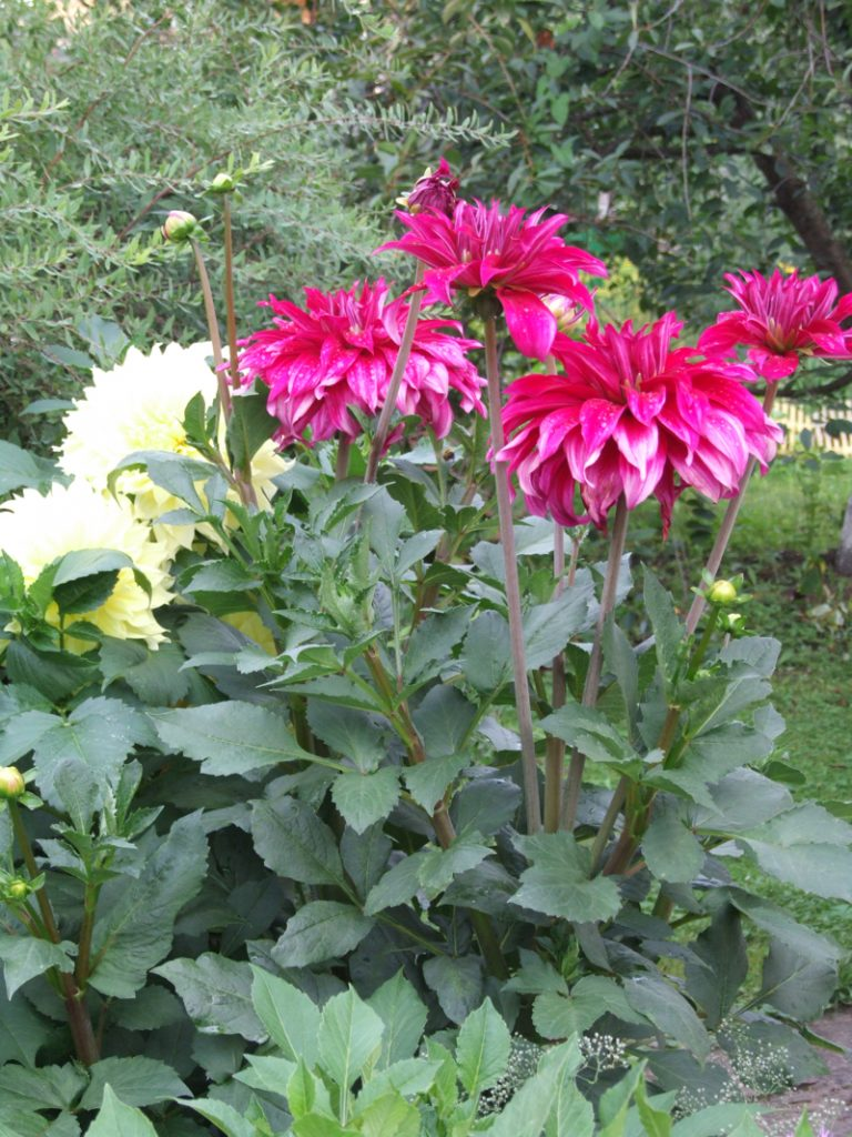 5. fazenda Подращённые георгины зацветут очень рано